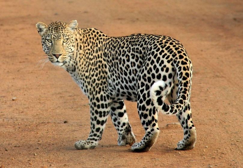 leopard-592187_1280.jpg